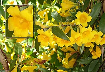 Amazon 10 Seeds Carolina Yellow Jessamine Gelsemium