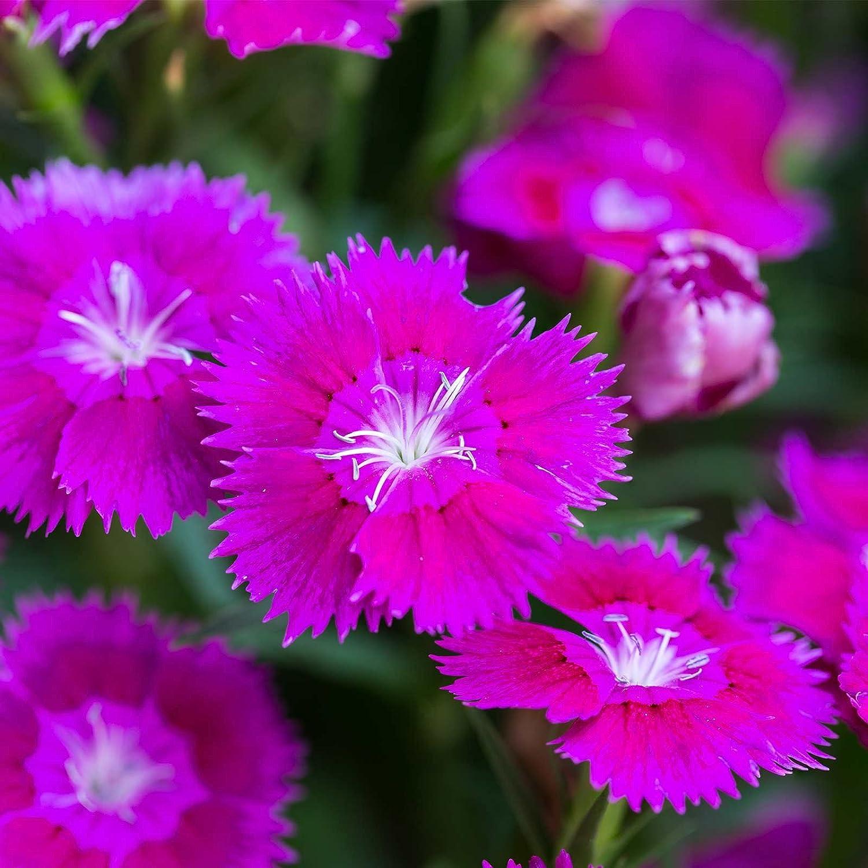 Amazon Dianthus Floral Lace Series Flower Seeds Lilac 100