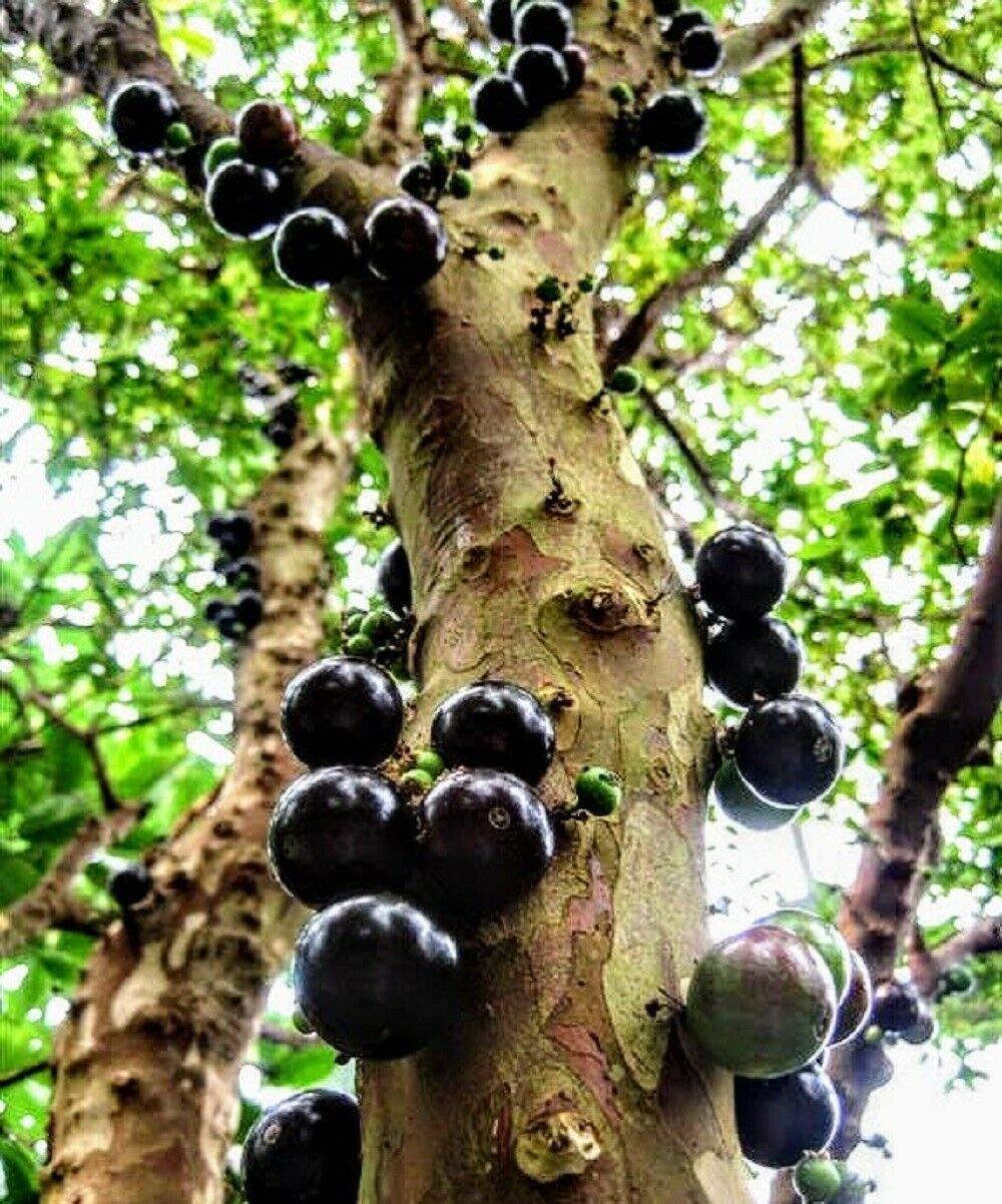Jaboticaba Jabuticaba 4'' Pot Plinia cauliflora Grape Fruit Tree Live Rare
