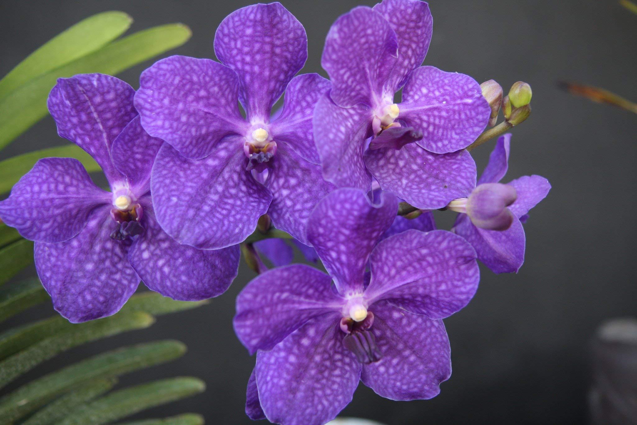 Strap Leaf Vanda Orchid Hawaiian Starter Plant F1
