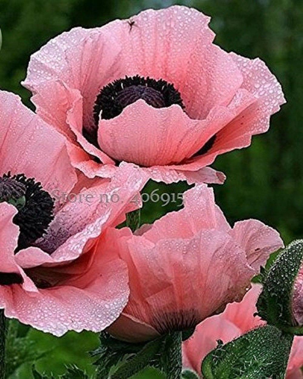 Amazon Seeds Market Rare Beautiful Perennial Pink Poppy Flower
