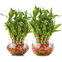 Nurturing Green Combo of 2 Lucky Bamboo Plant (2 Layer) in Glass and Ceramic Pot.