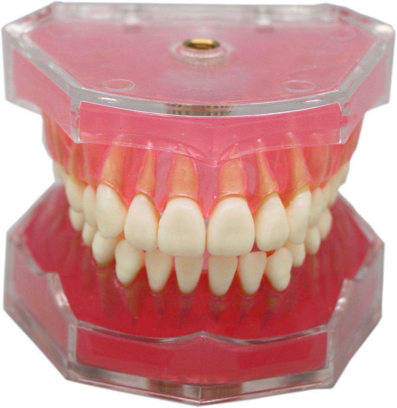 Dentalmall® 1 Pc Dental Demonstration teeth Model - Standard Study Teaching dental mode with all Removable Teeth #4004 01