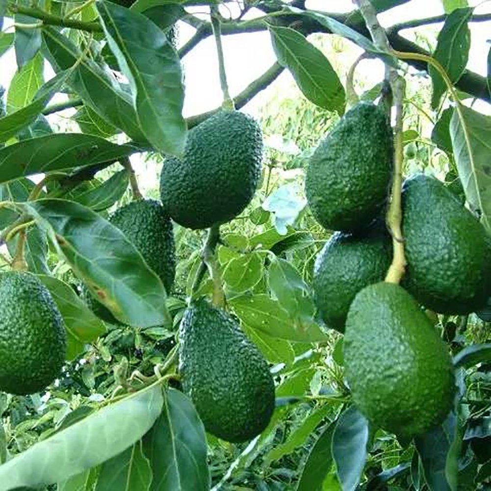 Steellwingsf 10Pcs Avocado Seeds Green Fruit Persea Americana Home Garden Plant Easy to Grow - Avocado Seeds