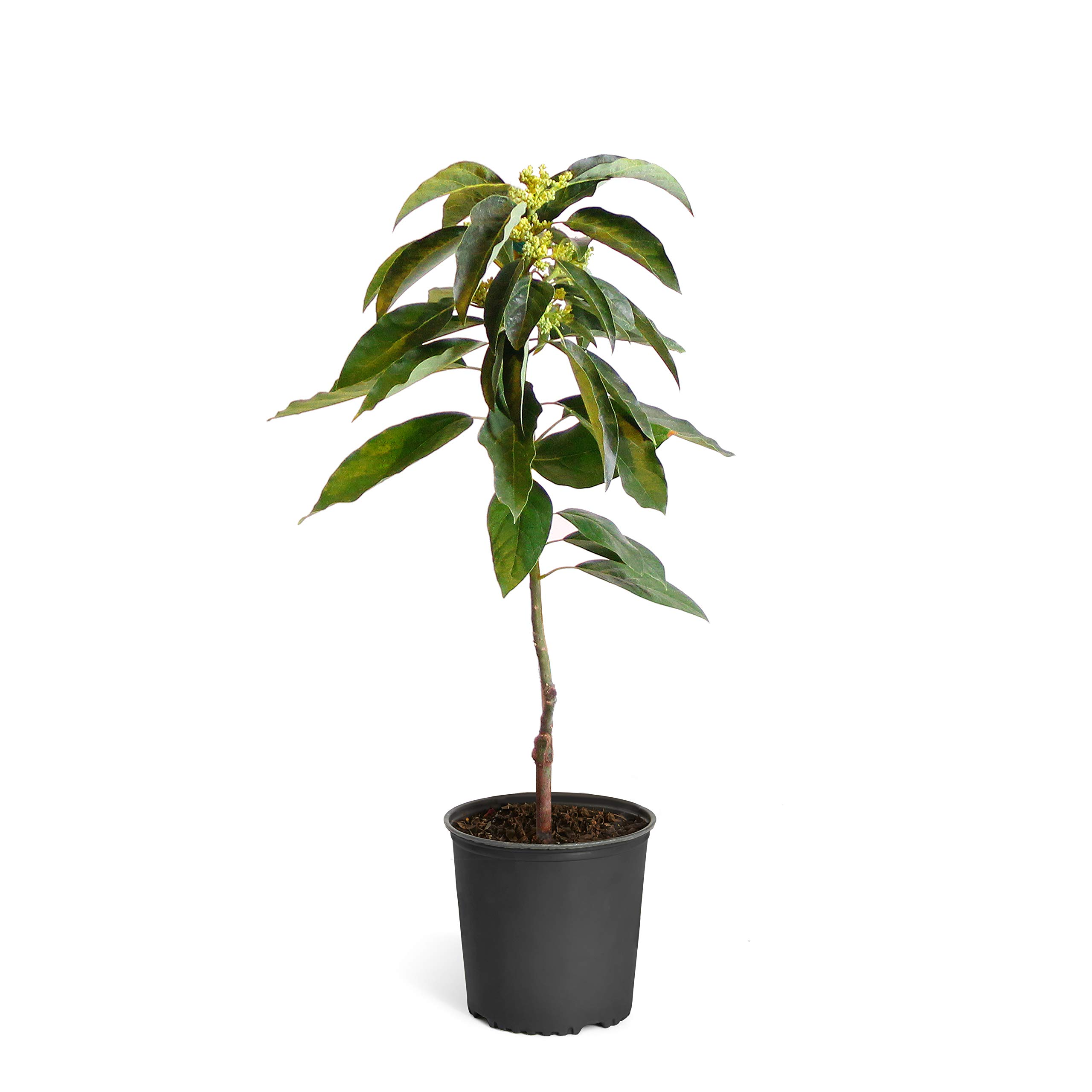 Brighter Blooms Cold Hardy Avocado Tree, 2-3 Ft. | Exotic, Delicious & Climate-Resilient | Greenhouse-Grown, Grafted (not Seed Grown) for Earliest Fruit | No Shipping to AZ by Brighter Blooms