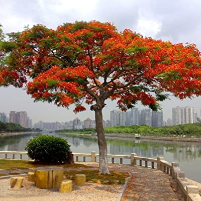 Mosichi 10 Pcs Delonix Regia Seeds Outdoor Bonsai Flamboyant Flame Tree Garden Plant : Garden & Outdoor