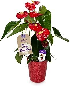Hallmark Flowers Live House Plant, Red Anthurium