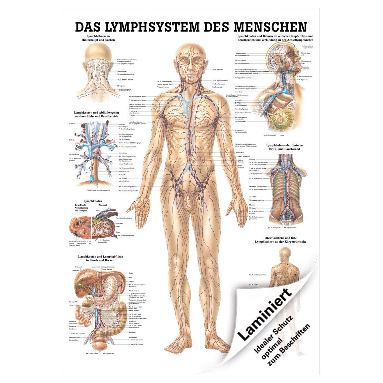 Gemütlich Anatomie Der Lymphknoten In Hals Bilder - Menschliche ...