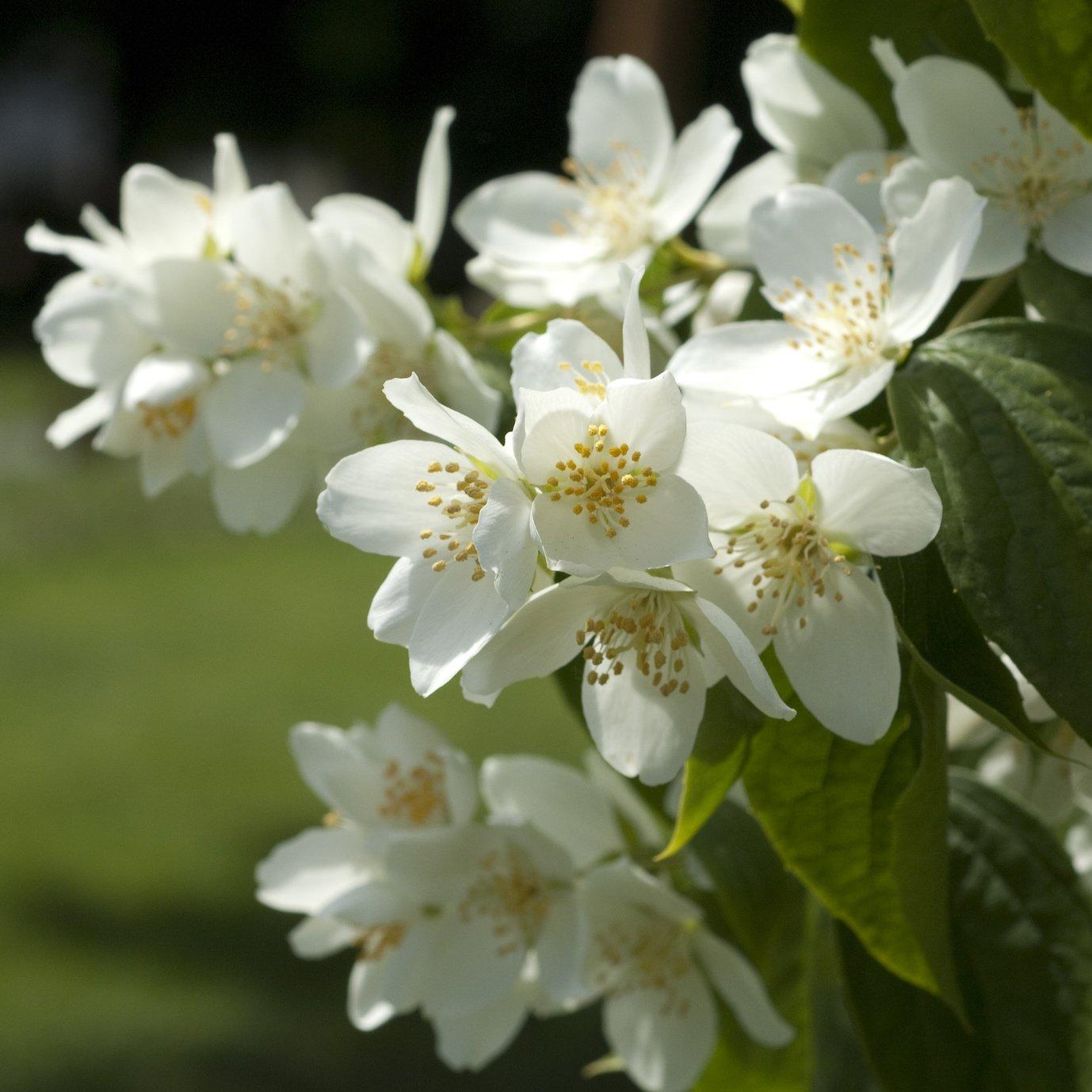 Sternjasmin Trachelospermum Star of Toscane winterhart Jasmin duftend 70-90 cm