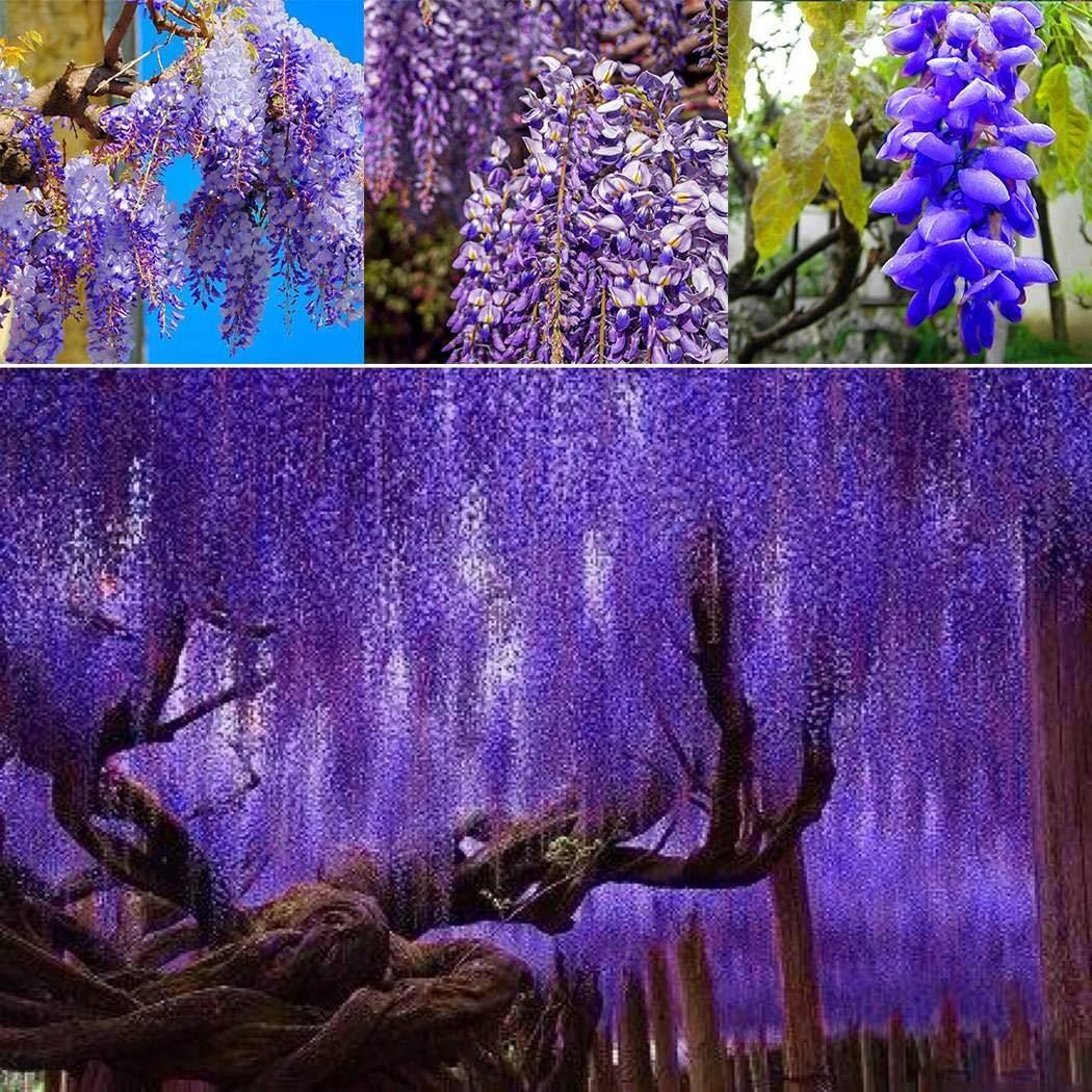 Soteer Garten Echt Wisteria Sinensis Samen Blauregen Zierbaum