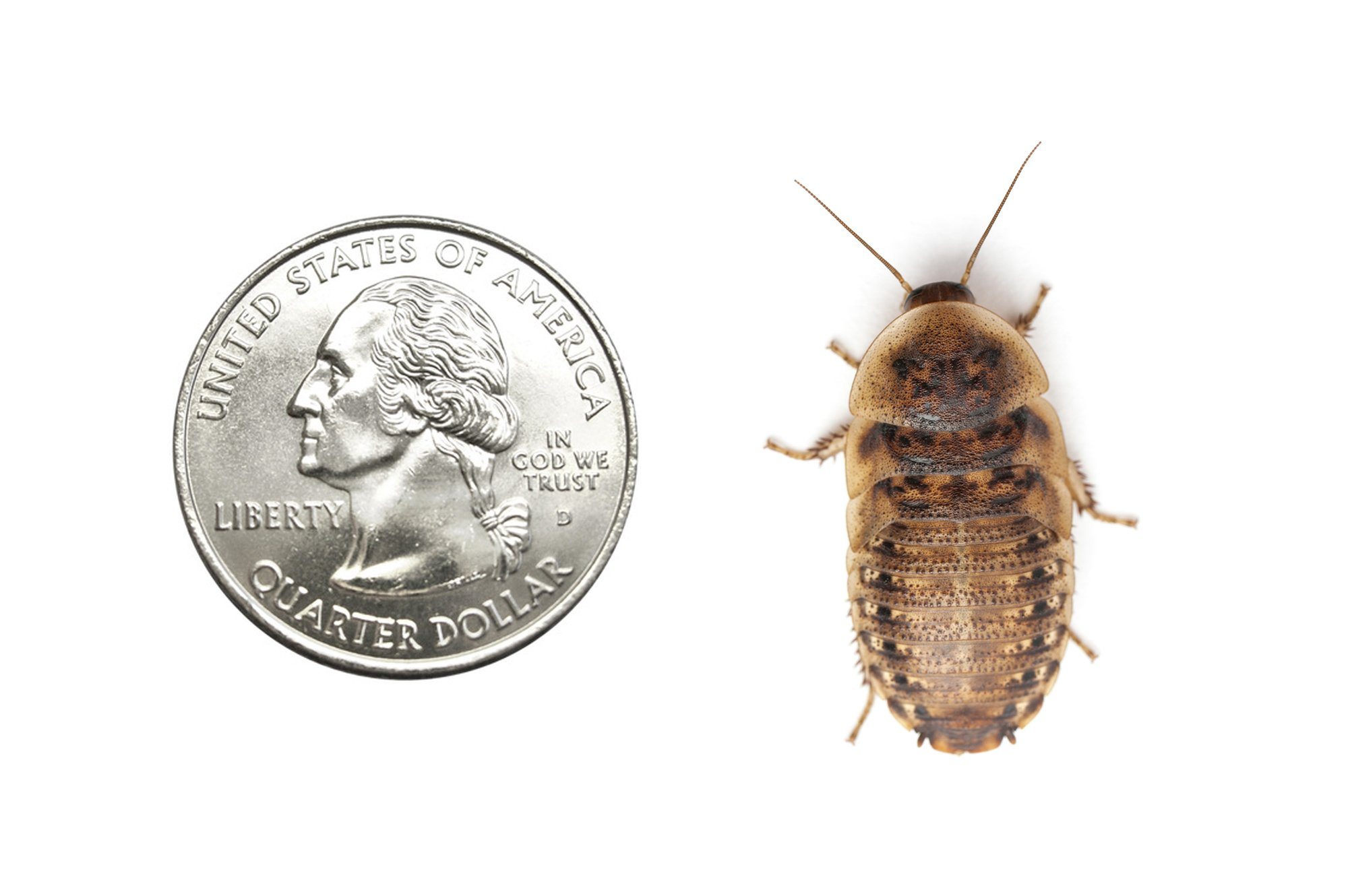 DubiaRoaches.com 50 Large Dubia Roaches by