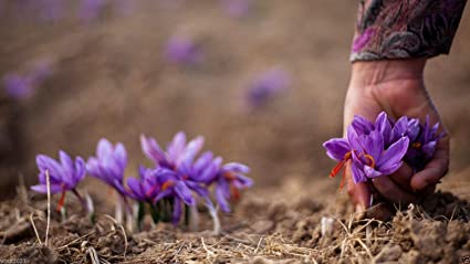 20e48b240aacb5 Image Unavailable. Image not available for. Color  50 Saffron Plant Bulbs - Crocus  Sativus - The World s Most Expensive Spice