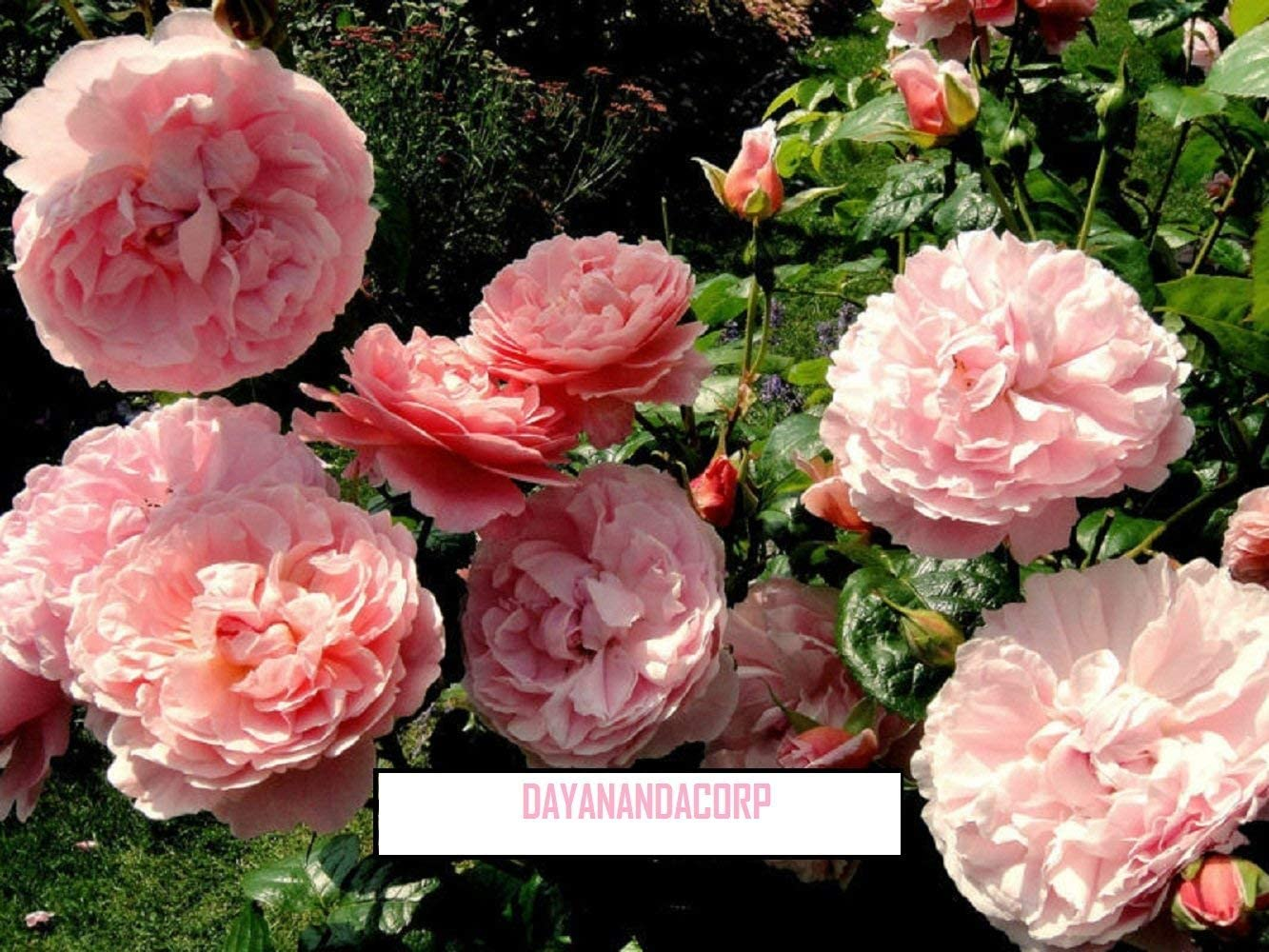 (100pcs Seeds)100 Strawberry Hill Rose Seeds Pink David Austin English English Rose Bonsai Flower and Garden Plants Seeds