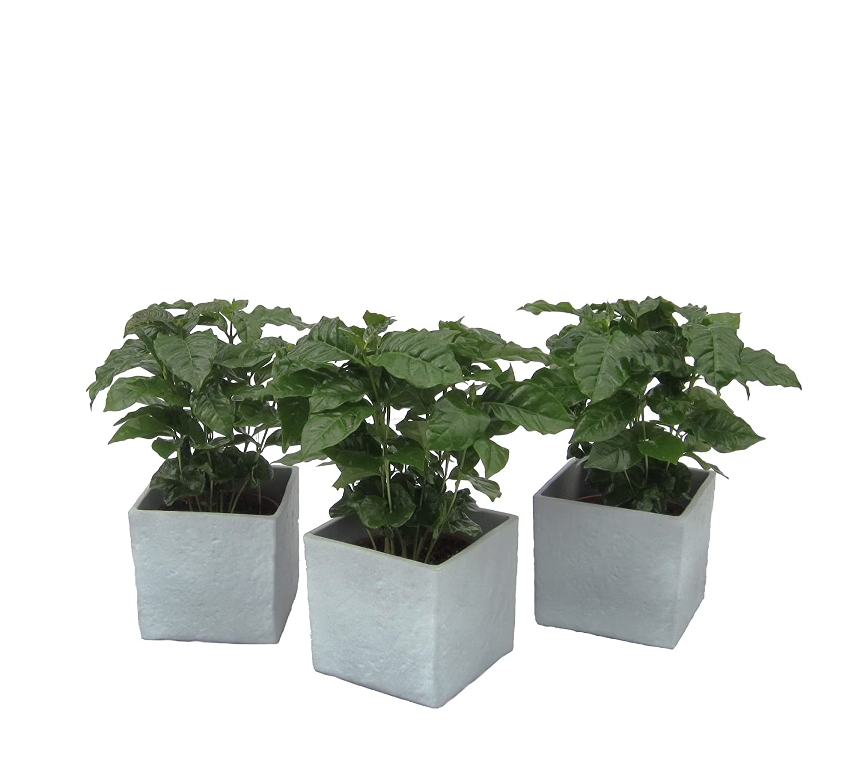 Amazon.de Pflanzenservice Blumen Kaffee Pflanzen Trio im Scheurich Würfeltopf stone, circa 14 x 14 x 14 cm, 3 Pflanzen und 3 Töpfe, grau / mehrfarbig