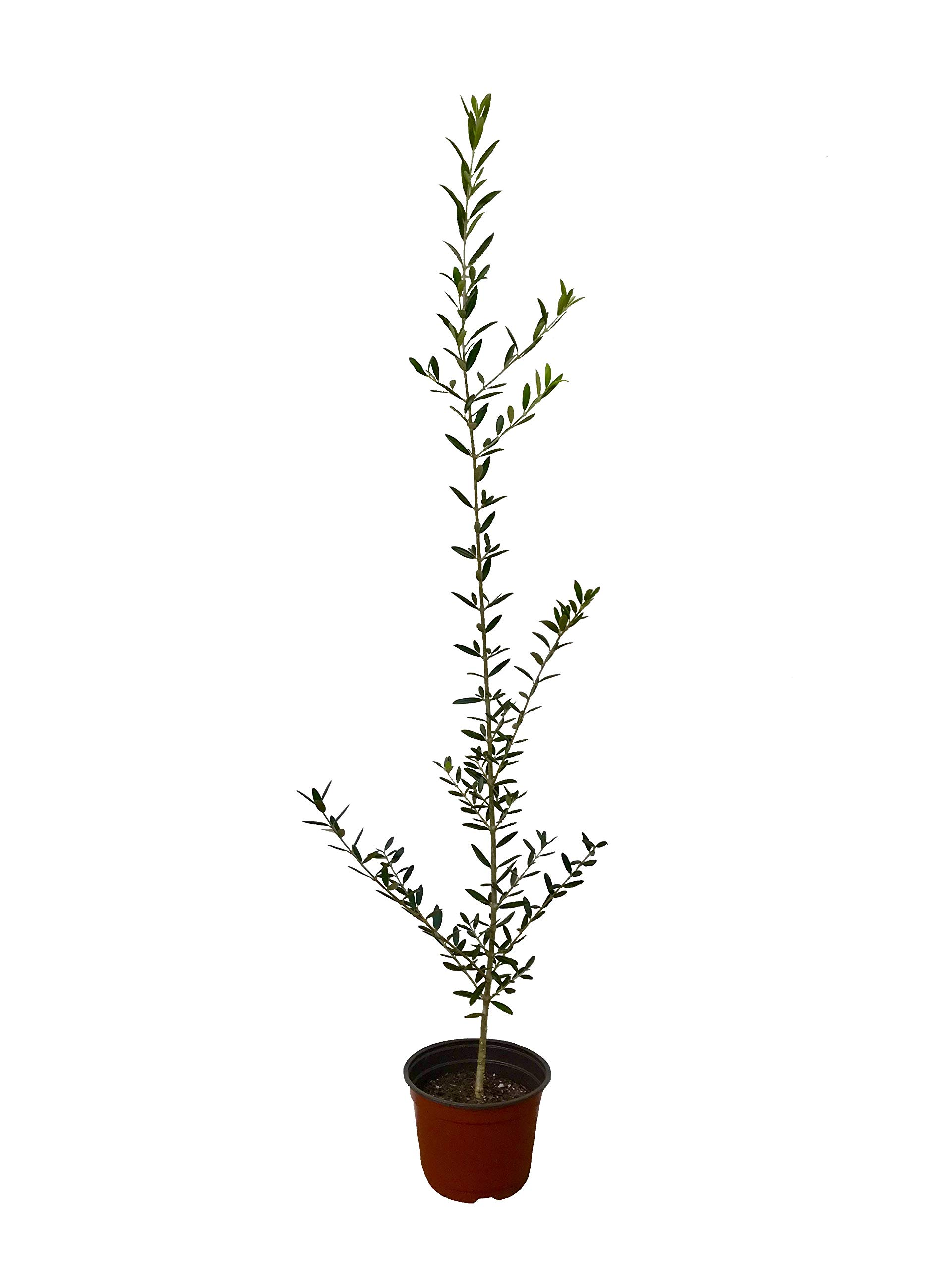 Arbequina Olive Tree - Beautiful Live Plant - 6 Inch Pot - Grow Your Own Olives Indoors - Olea Europaea