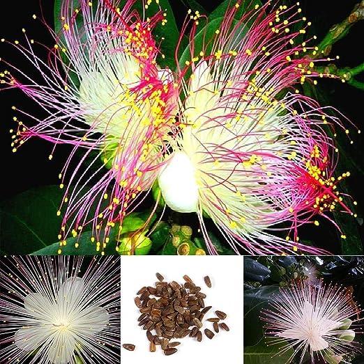 Soteer Seed House - Narcisos raros semillas plantas de jardín semillas ornamentales semillas semillas de flores multi-flor perenne resistente: Amazon.es: Jardín