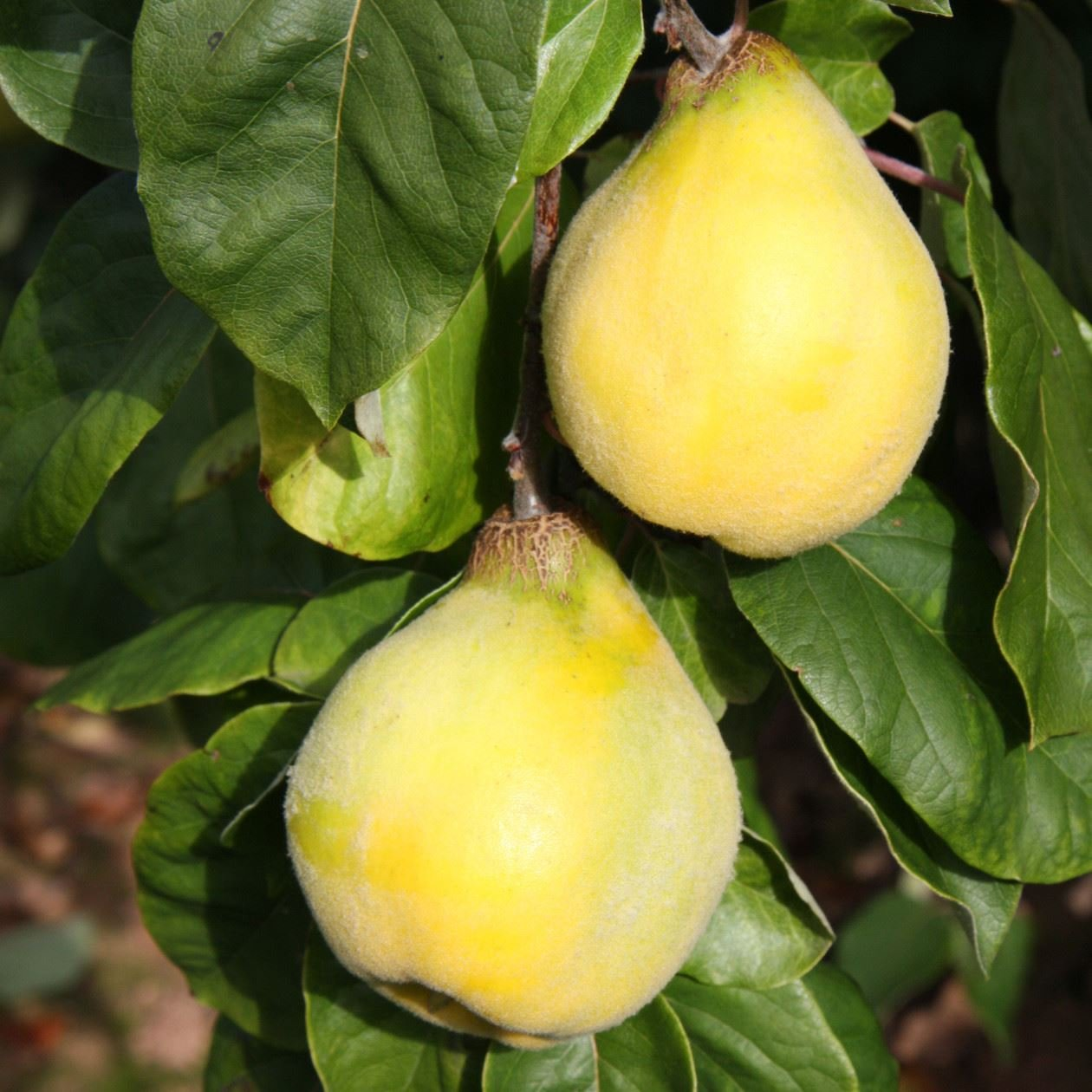 'Serbian Gold' Quince Tree in a 12 Litre Pot (Half-Standard) Perfect Plants