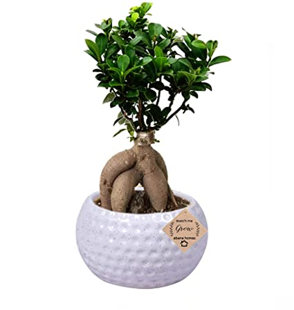 53042c8d9 Abana Homes Grafted Ficus Indoor Real Bonsai Live Plants for Home Office  with Pot - 4 Years Old  Amazon.in  Garden   Outdoors