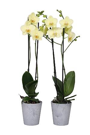 BOTANICLY | 2 × orquídea Alassio | Altura: 65 cm | Phalaenopsis Alassio: Amazon.es: Jardín