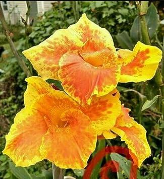 Amazon 5 bulbs tall yellow king humbert flower canna lilly 5 bulbs tall yellow king humbert flower canna lilly yellow red orange rhizomes mightylinksfo
