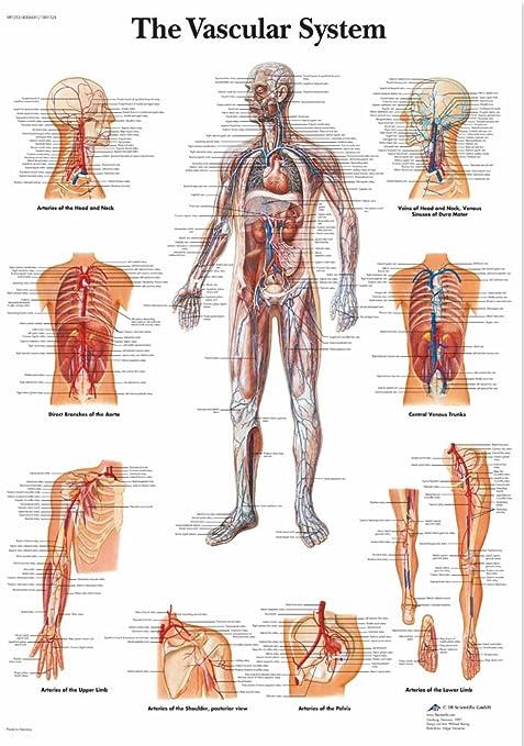 Educational Anatomy The Human Vascular System University Medical