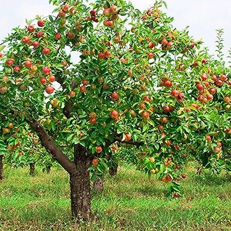 Very Sweet Little Acid Fuji Apple Malus Pumila /'Fuji/' Seeds