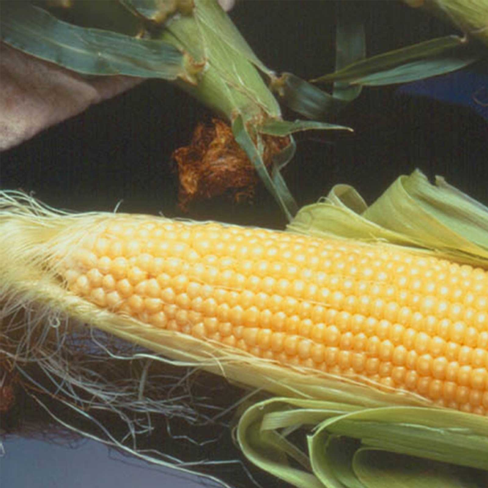 Incredible Hybrid Corn Garden Seeds (Treated) - 5 Lb - Non-GMO, R/M, Vegetable Gardening Seeds - Yellow Corn by Mountain Valley Seed Company (Image #1)