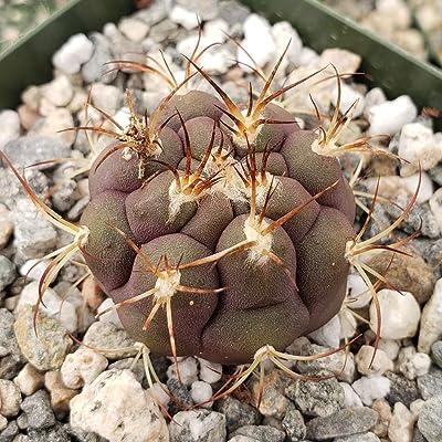 Gymnocalycium piricarpum, Naked Calyx Cactus Plant - 3.5 inch Pot (1 Plant) : Garden & Outdoor