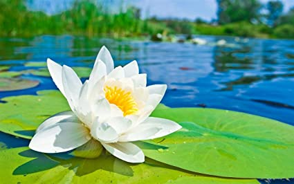 Bee garden white lotus flower seeds pack of 10 seeds amazon bee garden white lotus flower seeds pack of 10 seeds mightylinksfo