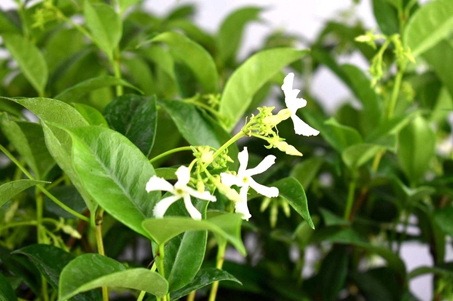Star Jasmine Live Rooted Plant White Flower 6 inch Tall Easy to Grow (3)