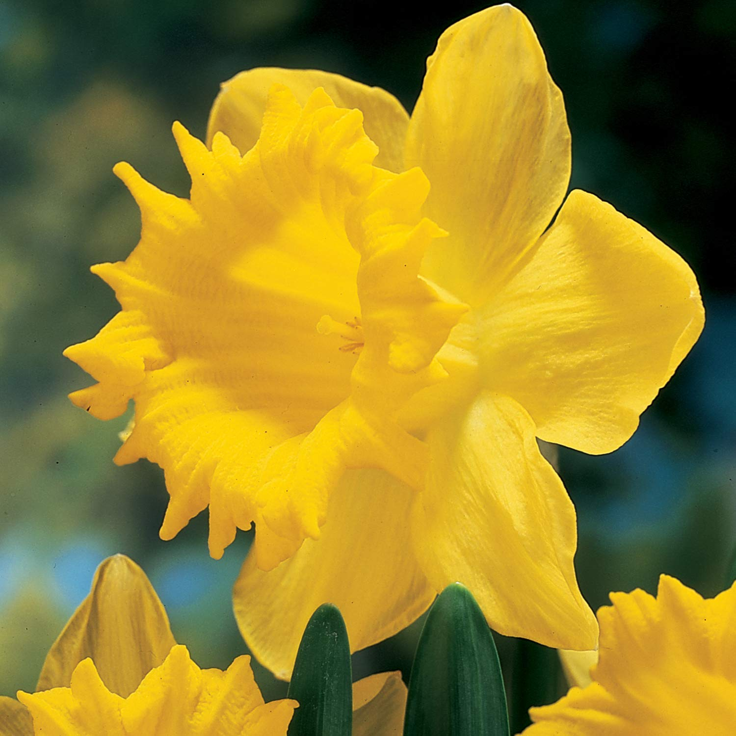 Burpee Dutch Master Daffodil | 10 Large Flowering Fall Bulbs for Planting, Yellow by Burpee