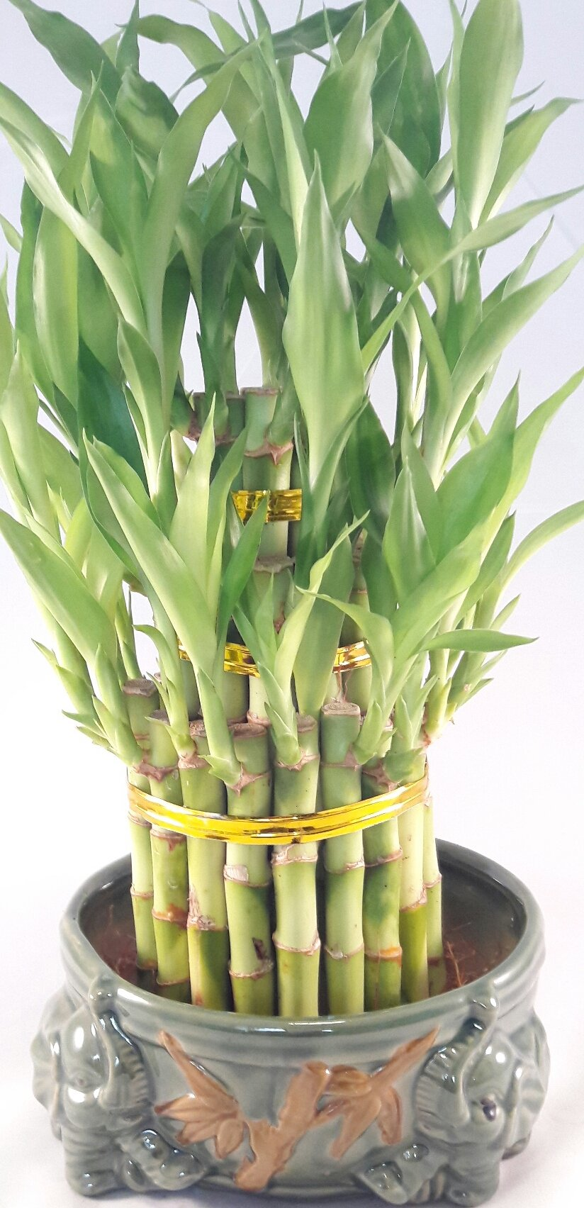 Lucky Bamboo Tower in Decorative Elephant Pot (Twin Elephants) unique from Jmbamboo