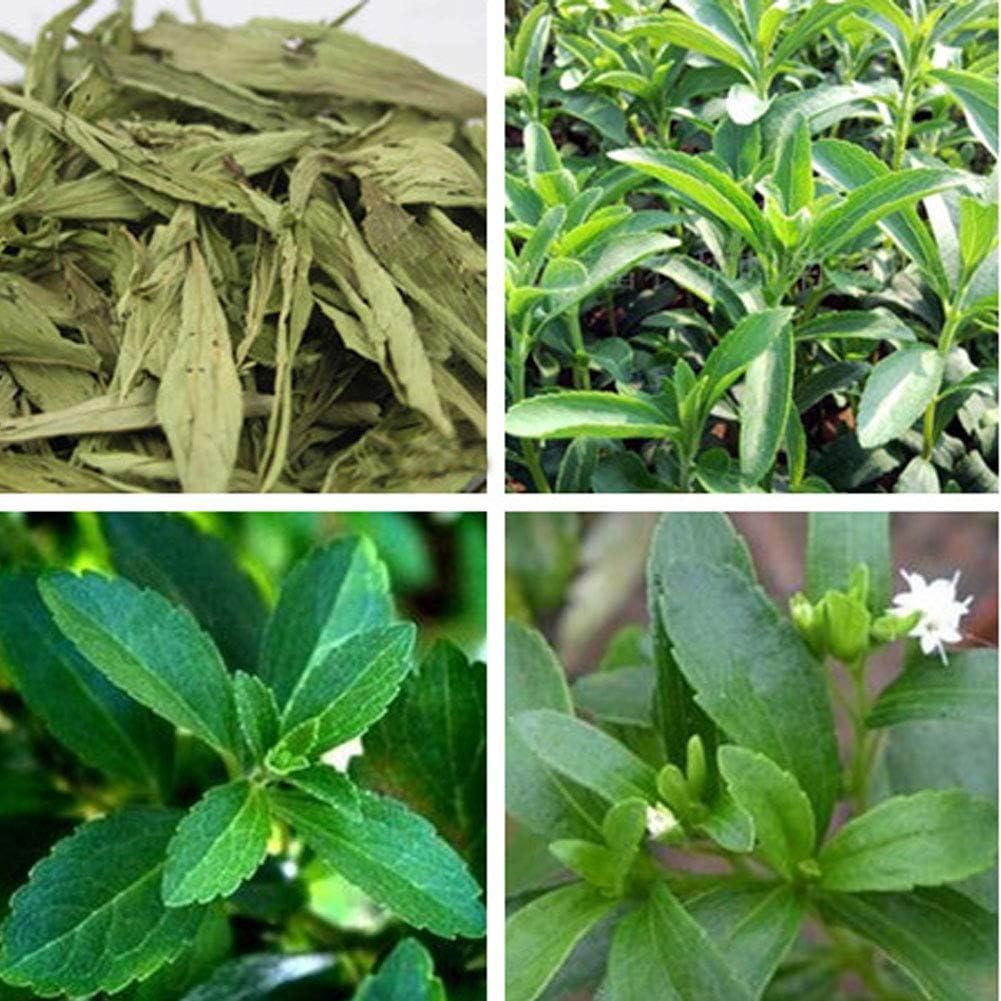 100pcs Semillas de Stevia, Semiilas Flores Flor Seeds Planta ...