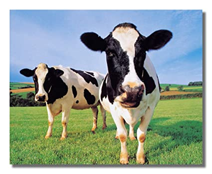 Image result for holstein cows