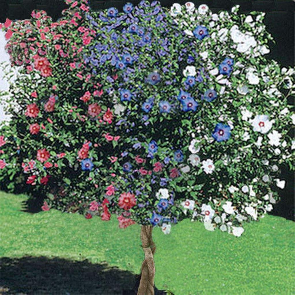 1 Rose of Sharon Tree, 3-N-1 Different Colors Plant Blast of Color Unique 1-2ft M4 by owzoneplant