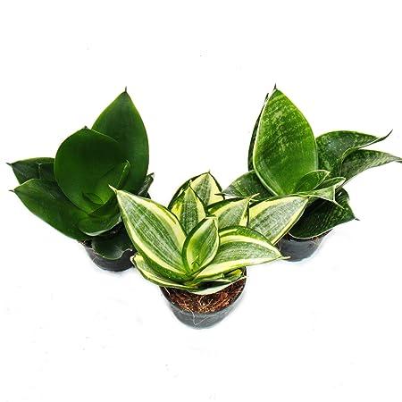 Sansevieria trifasciata hahnii - Set of 3 different plants Potsize 5, 5cm: Amazon.es: Jardín