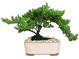 Eve's Garden Japanese Juniper Bonsai Tree, 10 Years Old Japanese Juniper, Planted in 10 Inch Ceramic Container, Outdoor Bonsai ! ! ! Cannot Ship to CA California ! ! !