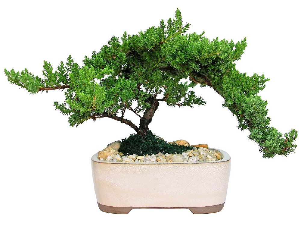 Eve's Large Japanese Juniper Bonsai Tree, 10 Years Old, Planted in 10 Inch Ceramic Container, Outdoor Bonsai