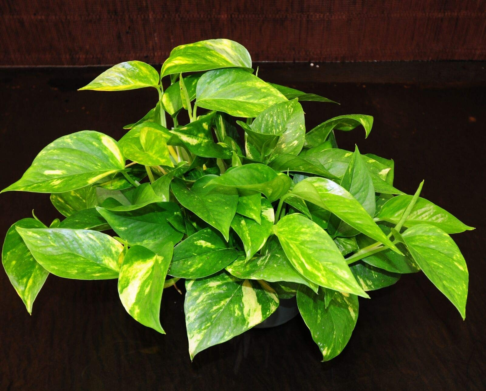Golden Pothos 6'' Pots Easy Tropical Vining House Plant Super Large & Full (Premium Quality) by AY-Premium
