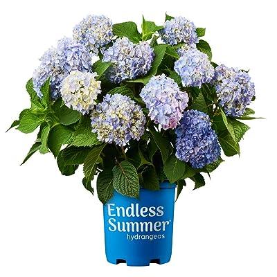Endless Summer Original Hydrangea, 1 Gal Original Hydrangea, 1 Gal : Garden & Outdoor