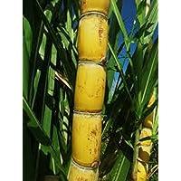 Fresh Sugarcane 5 Sticks Minimum Nodes to Sprout 2 Each Florida Sweet Green Yellowish
