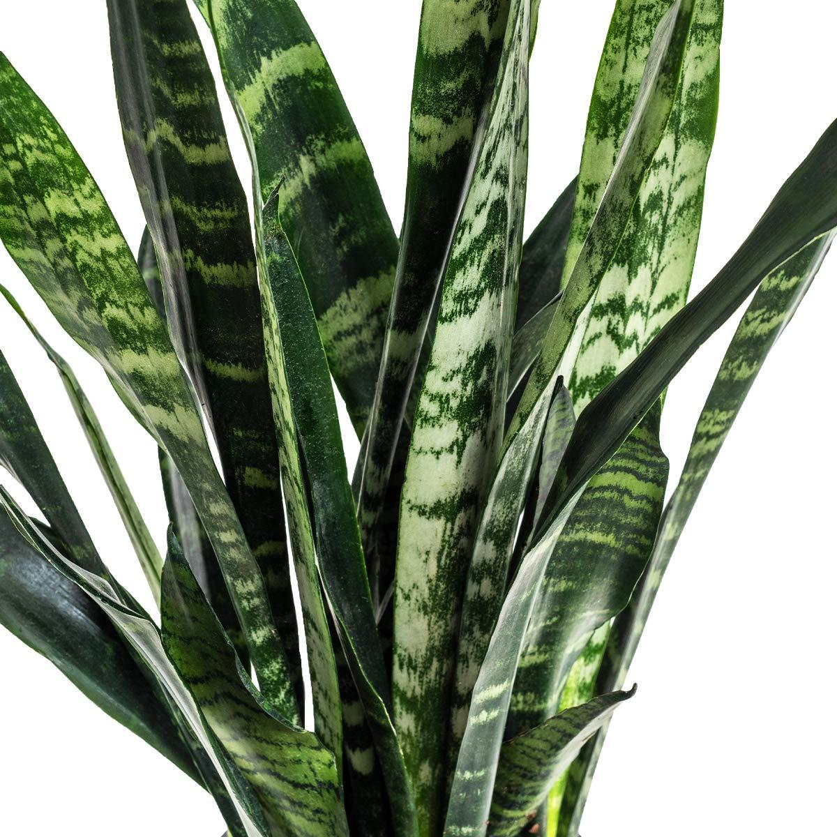 Burpee ' 'Black Coral' Snake Plant     Sansevieria trificiata   Indirect Medium Light     Live Easy Care Houseplant, 6'' Pot by Burpee (Image #3)