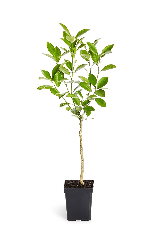 Indoor//Outdoor Patio Citrus Trees Ready to Give Fruit TX LA or AZ 1-2 feet Tall CA Cannot Ship to FL Calamondin Orange Tree