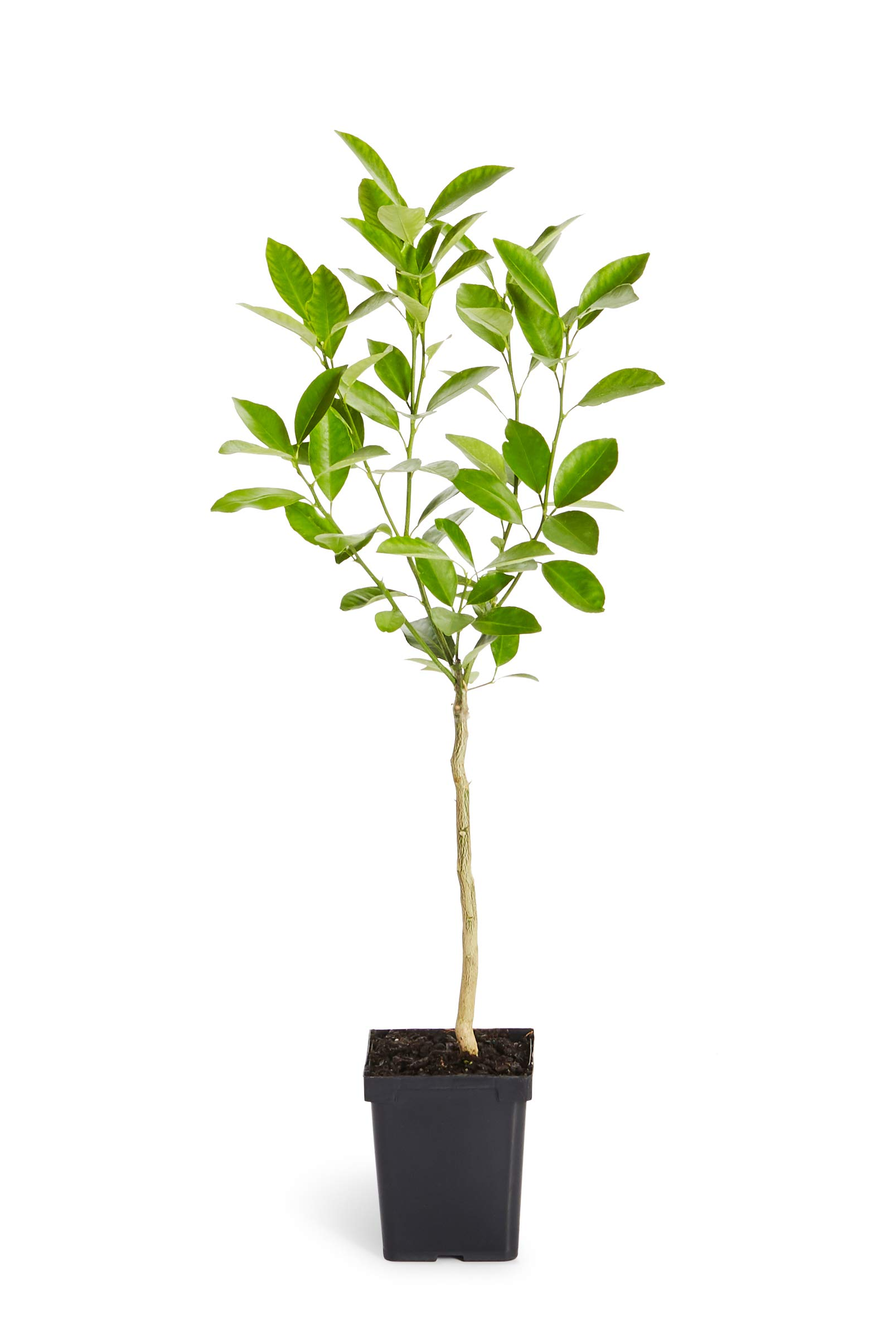 Calamondin Orange Tree - Indoor/Outdoor Patio Citrus Trees, Ready to Give Fruit - 1-2 feet Tall - Cannot Ship to FL, CA, TX, LA or AZ by Brighter Blooms