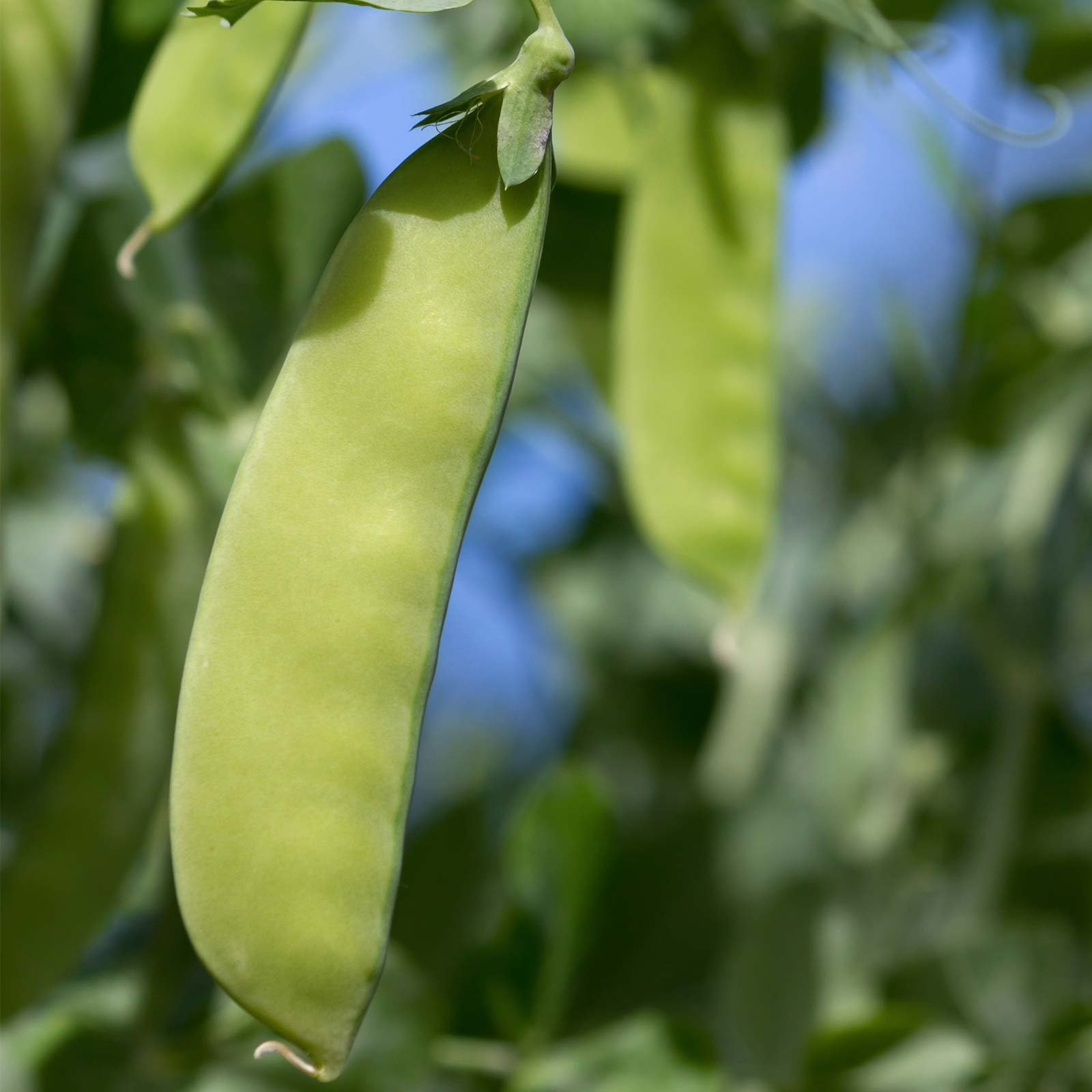 Oregon Giant Snow Pea Garden Seeds - 50 Lbs Bulk - Non-GMO, Heirloom Vegetable Gardening Seed