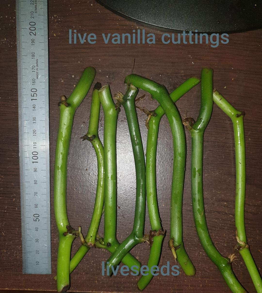 1 Rare Vanilla Planifolia Bean Live Rooted Plant//Ready to Grow//In-out door