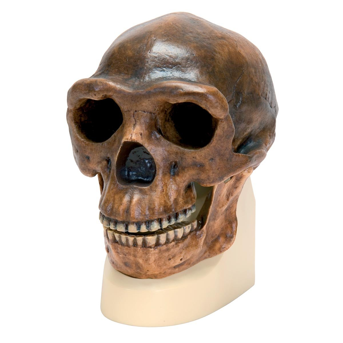 3B Scientific VP750/1 Schä delreplikat Homo erectus pekinensis (Weidenreich, 1940) 3B Scientific GmbH 1001293 3B  VP750/1