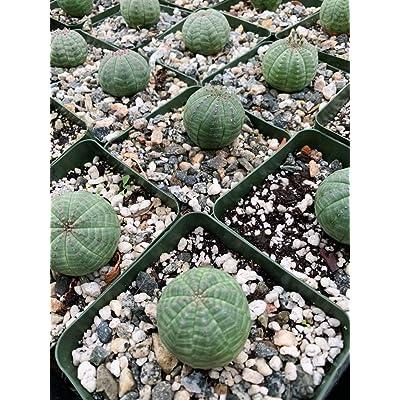 AchmadAnam - Live Plant - Euphorbia Obesa. E12 : Garden & Outdoor
