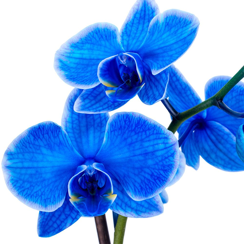 DecoBlooms Living Blue Orchid Plant - 5 inch Blooms - Fresh Flowering Home Décor by Unknown (Image #3)
