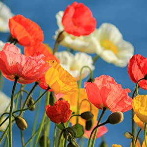 California Poppy Flower Seeds - Mission Bells - 1 g Packet ~600 Seeds - Annual Poppy Flowers - Mixed Colors - Wildflower Flower Gardening